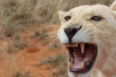 south-africa-1---white-lion-yawning2