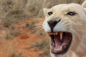 south-africa-1---white-lion-yawning2